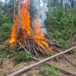 95 mil pés de maconhas são destruídos em operação da PF no MA